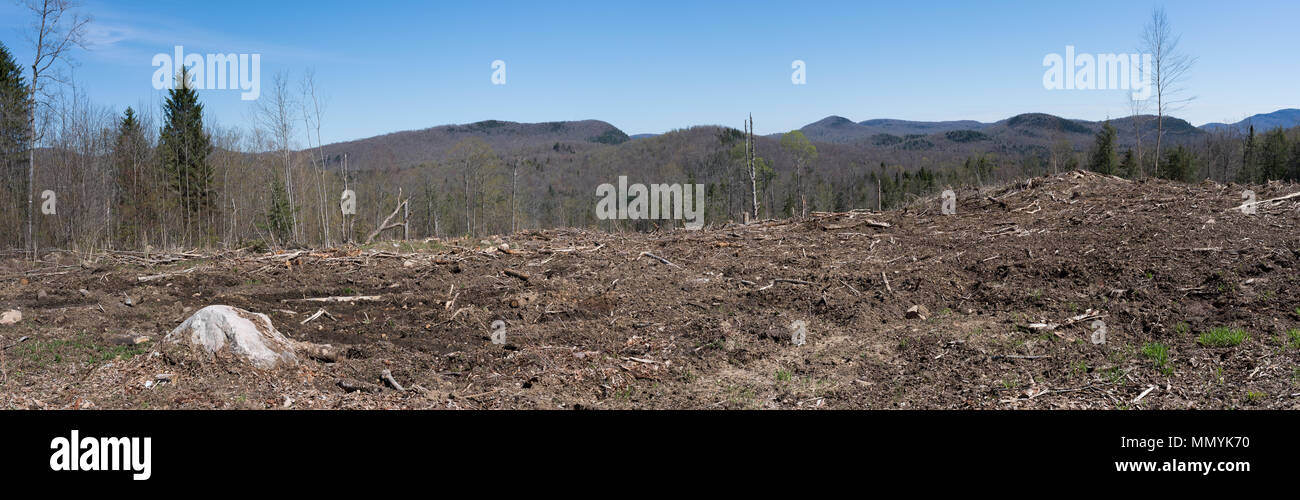 A panorama view of a forest after clear cut logging in the Adirondack Mountains, NY USA - Stock Image