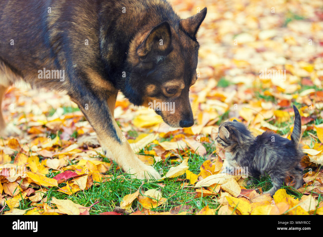 A big dog and a little kitten are the best friends playing together outdoors. In the autumn, they sniff each other on the grass Stock Photo