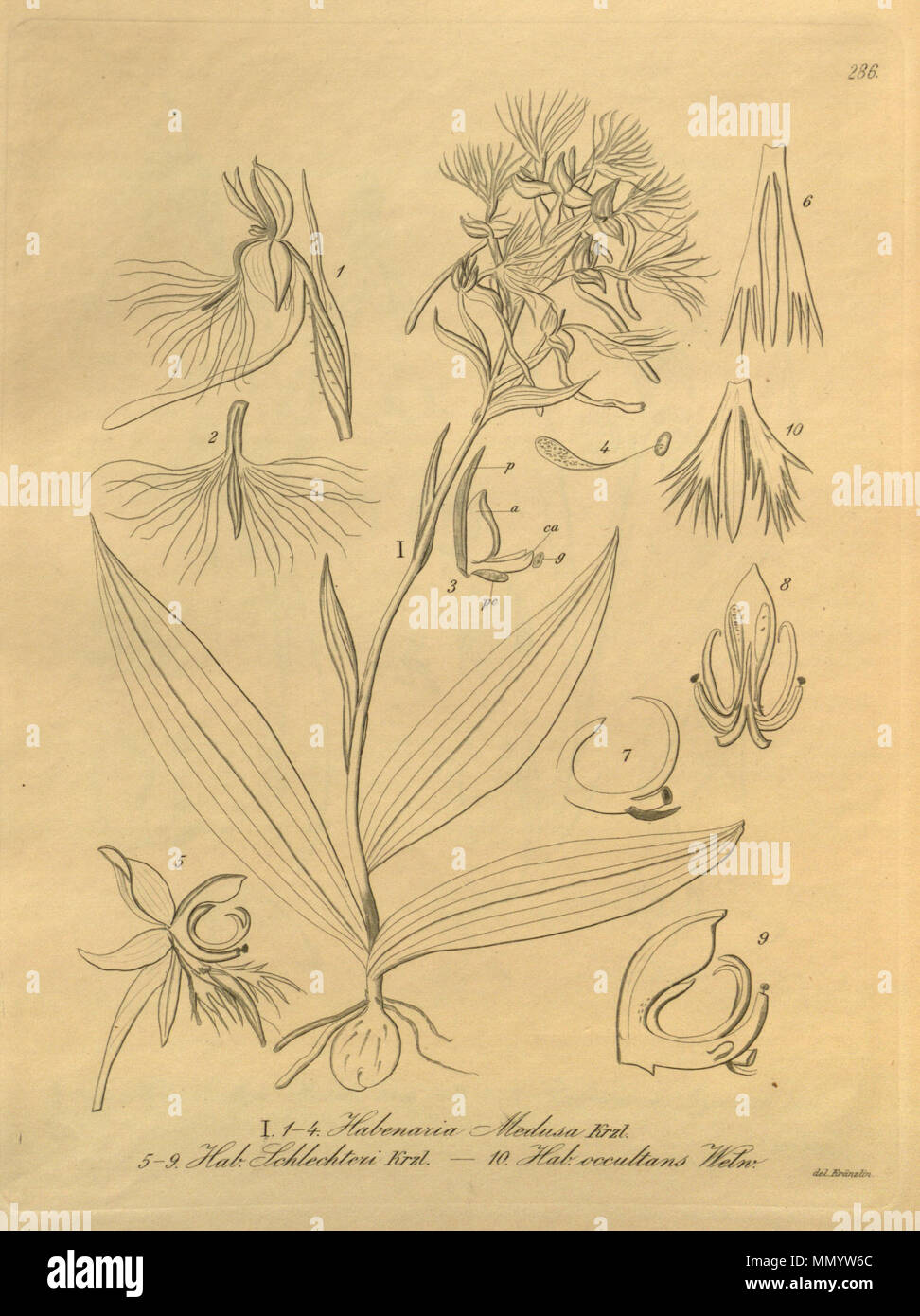 . Illustration of fig. 1-4. Habenaria medusa fig. 5-9. Centrostigma occultans (as syn. Habenaria schlechteri) fig. 10. Centrostigma occultans (as syn. Habenaria occultans)  . 1900 (book), 1896 (this pt.). Friedrich Wilhelm Ludwig Kränzlin (1847-1934) and  Heinrich Gustav Reichenbach (1824–1889)   Alternative names Rchb.f.  Description German-Saxon botanist, pteridologist, ornithologist and university teacher  Date of birth/death 3 January 1824 6 May 1889  Location of birth/death Dresden Hamburg  Work location Leipzig  Authority control  : Q62820 VIAF:?77066171 ISNI:?0000 0000 8396 1069 LCC Stock Photo
