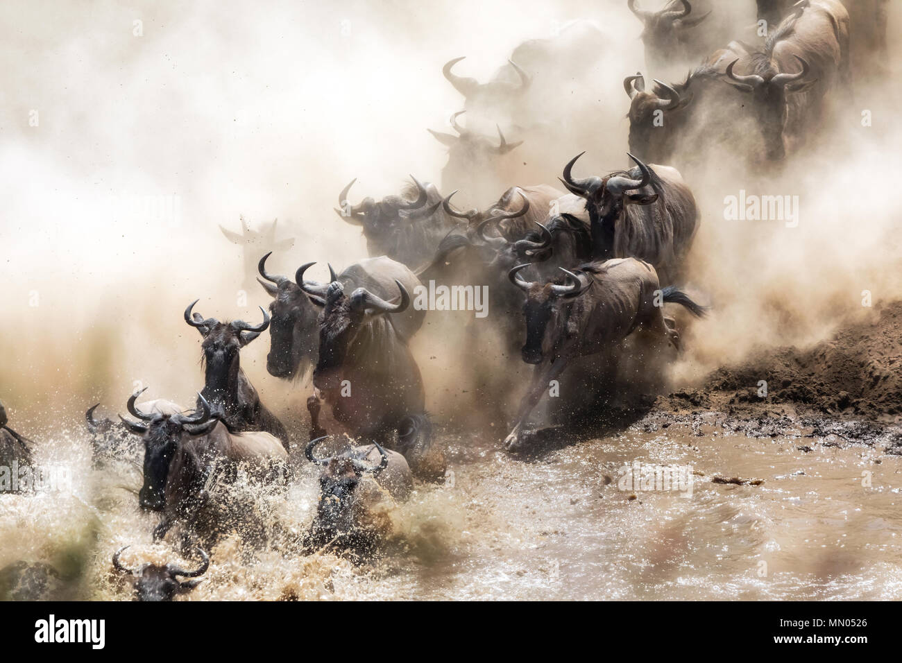 Wildebeest crossing the Mara River during the annual great migration. Every year millions will make the dangerous crossing when migrating between Tans - Stock Image