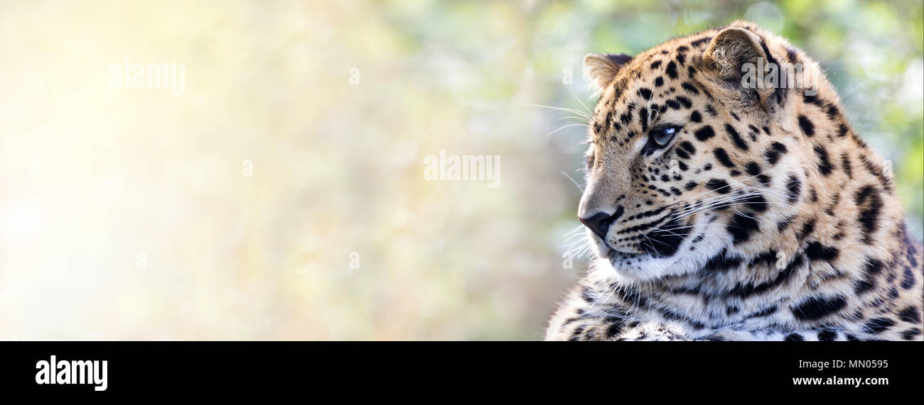 Young adult Amur Leopard. A species of leopard indigenous to southeastern Russia and northeast China, and listed as Critically Endangered. Space for t - Stock Image