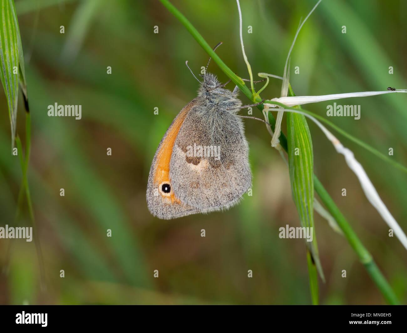 The small heath (Coenonympha pamphilus) - Stock Image