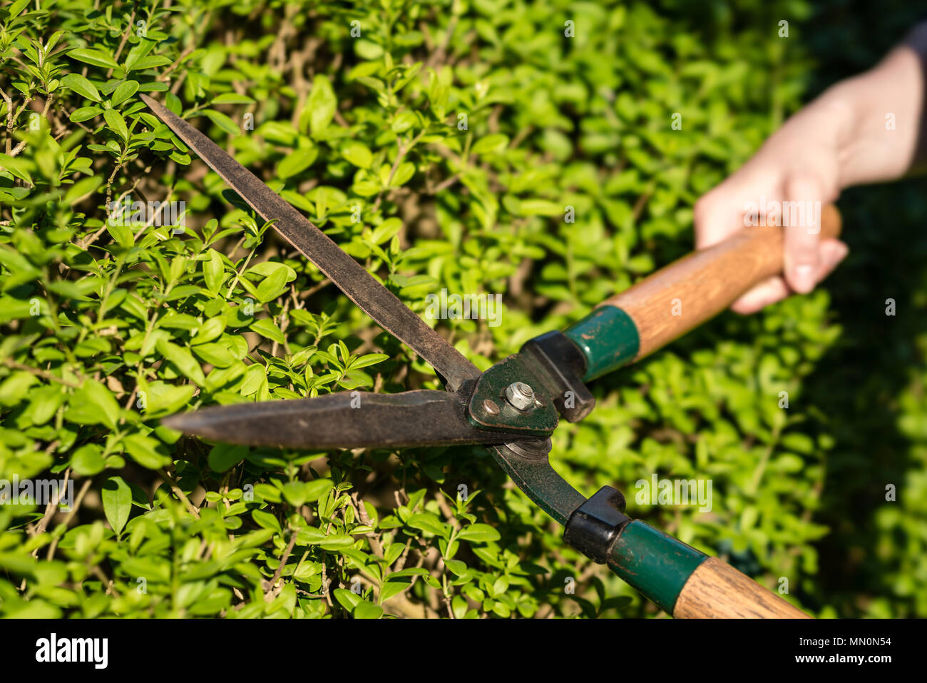 Pruner cutting a hedge - Stock Image