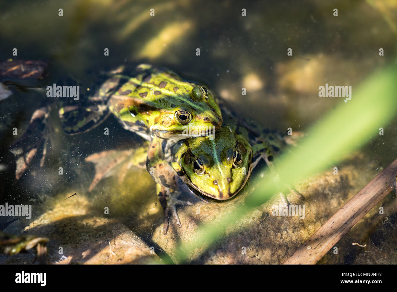 Two frogs pairing - Stock Image