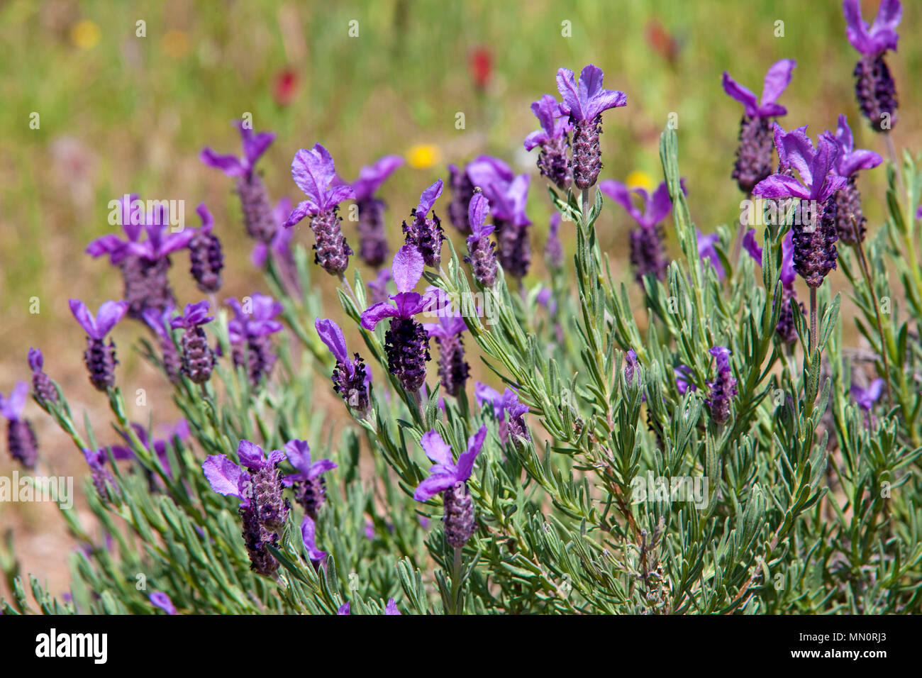 Lavendel (Lavandula angustifolia), flowering, Cap Camarat, Gulf of Saint-Tropez, Cote d'Azur, Département Var, Provence-Alpes-Côte d'Azur, South Franc - Stock Image