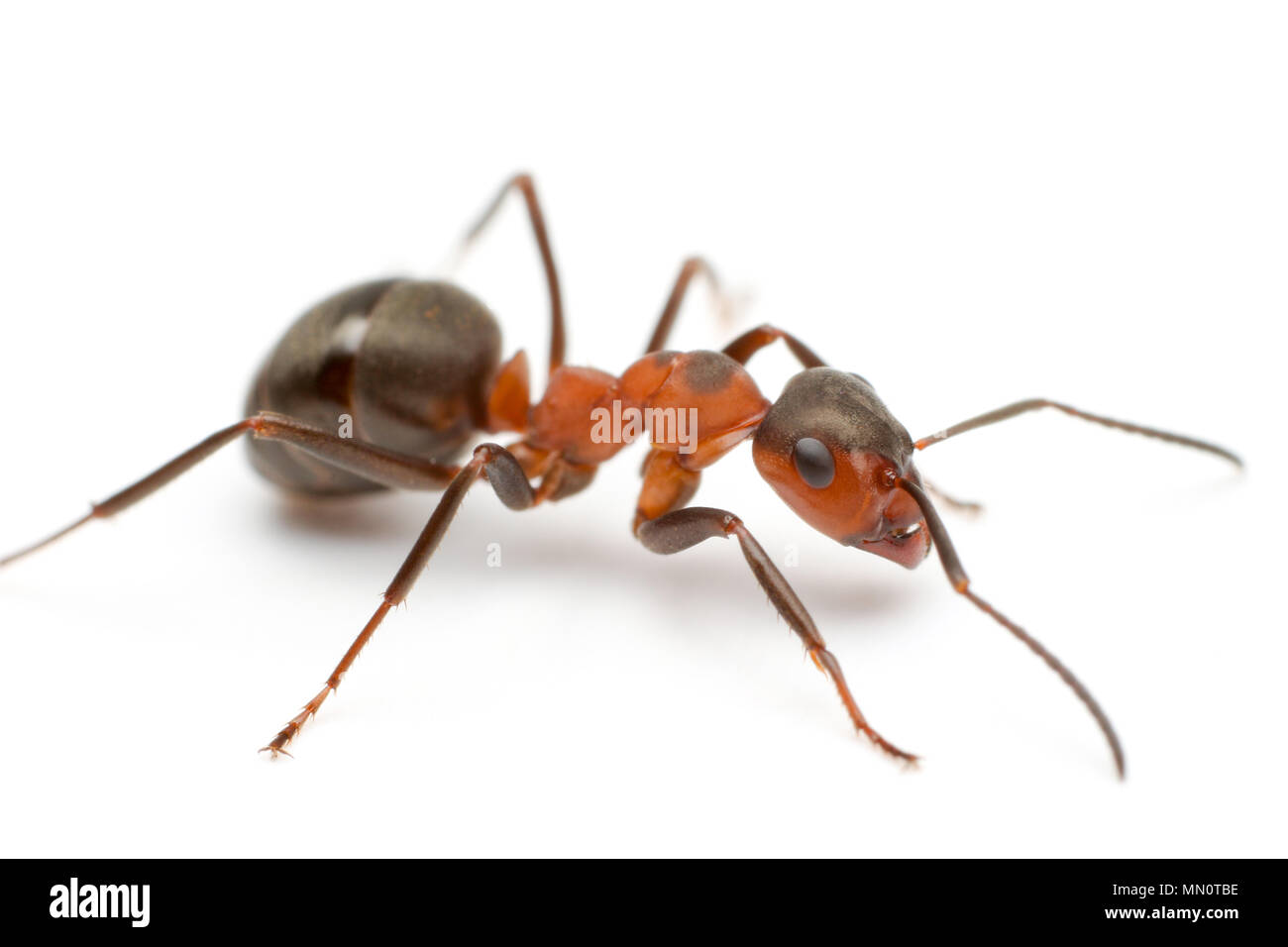 A red wood ant, Formica rufa, on a white background found in