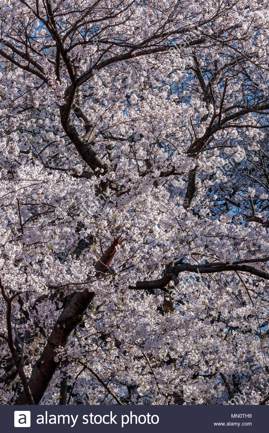 Sakura Cherry Trees Somei Yoshino Blossom In Springtime In High Park In Toronto Ontario Canada Stock Photo Alamy