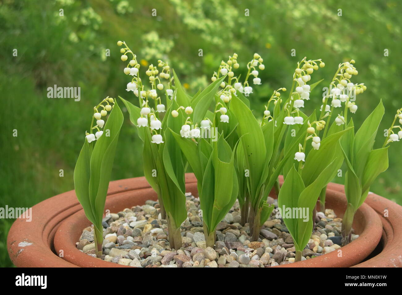This Pot Of Lily Of The Valley Also Known As May Bells And Our