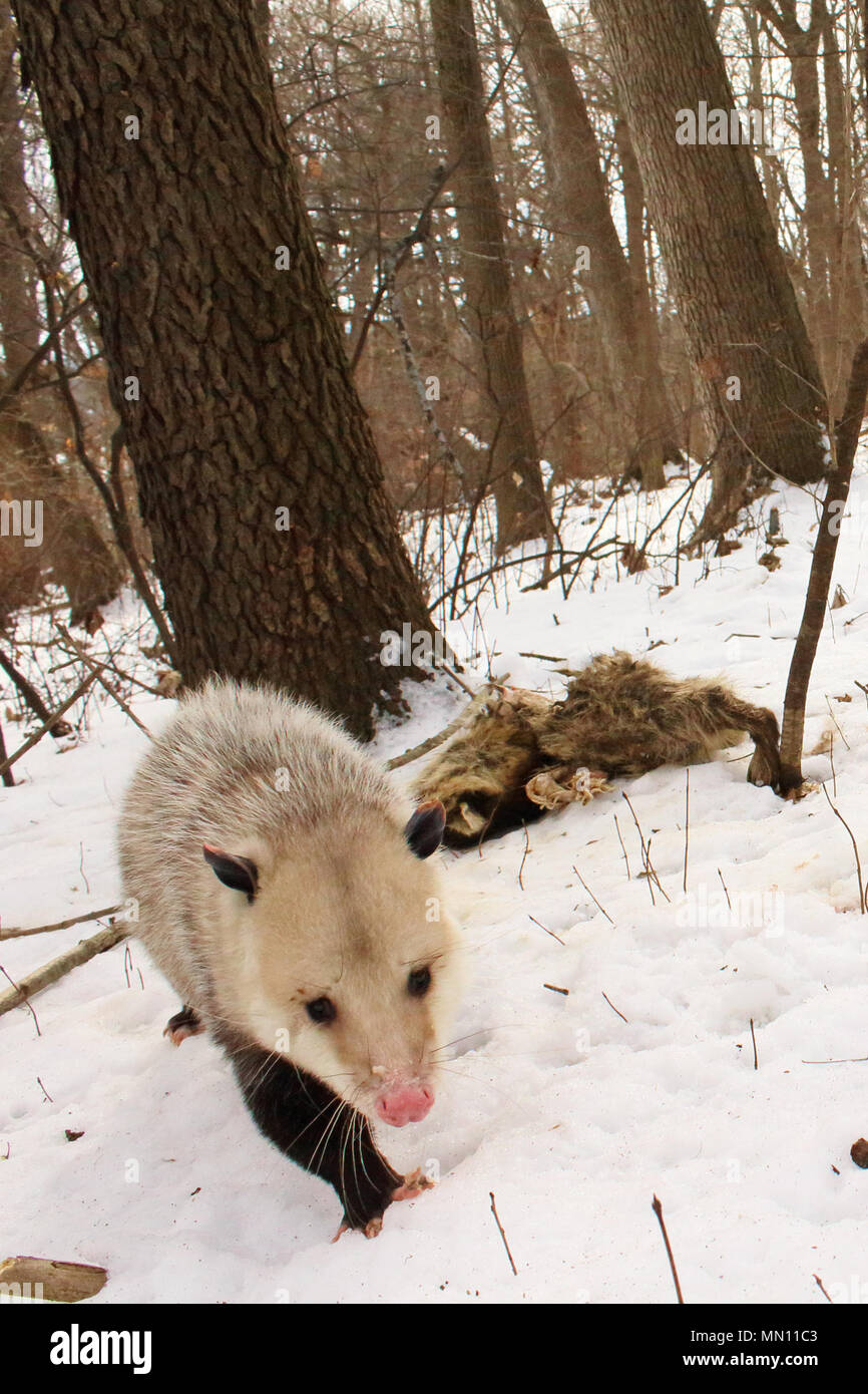 A Virginia Opossum leaving with a full belly after scavenging from a raccoon carcass. - Stock Image
