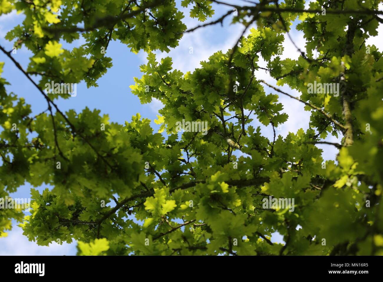 Oak tree view from underneath the canopy - Stock Image