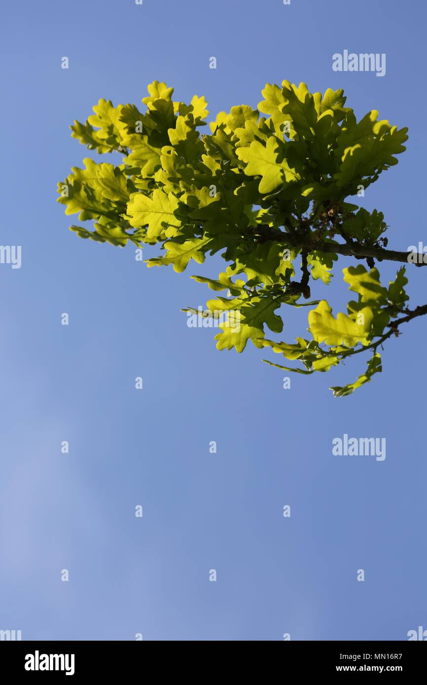 Oak branches and leaves against blue sky background - Stock Image