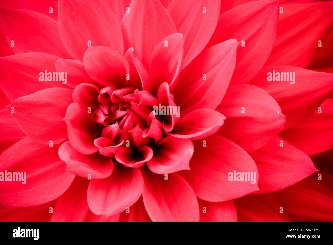 Blooming red pink dahlia flower macro photo picture in color blooming red pink dahlia flower macro photo picture in color emphasizing the pink colours and reddish shadows in a intricate geometric pattern izmirmasajfo