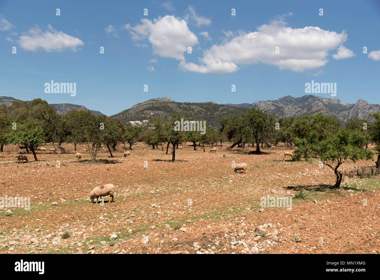 Sheep grazing in the foothills of the Serra de Tramuntana mountain range north of Palma, Mallorca Spain - Stock Image