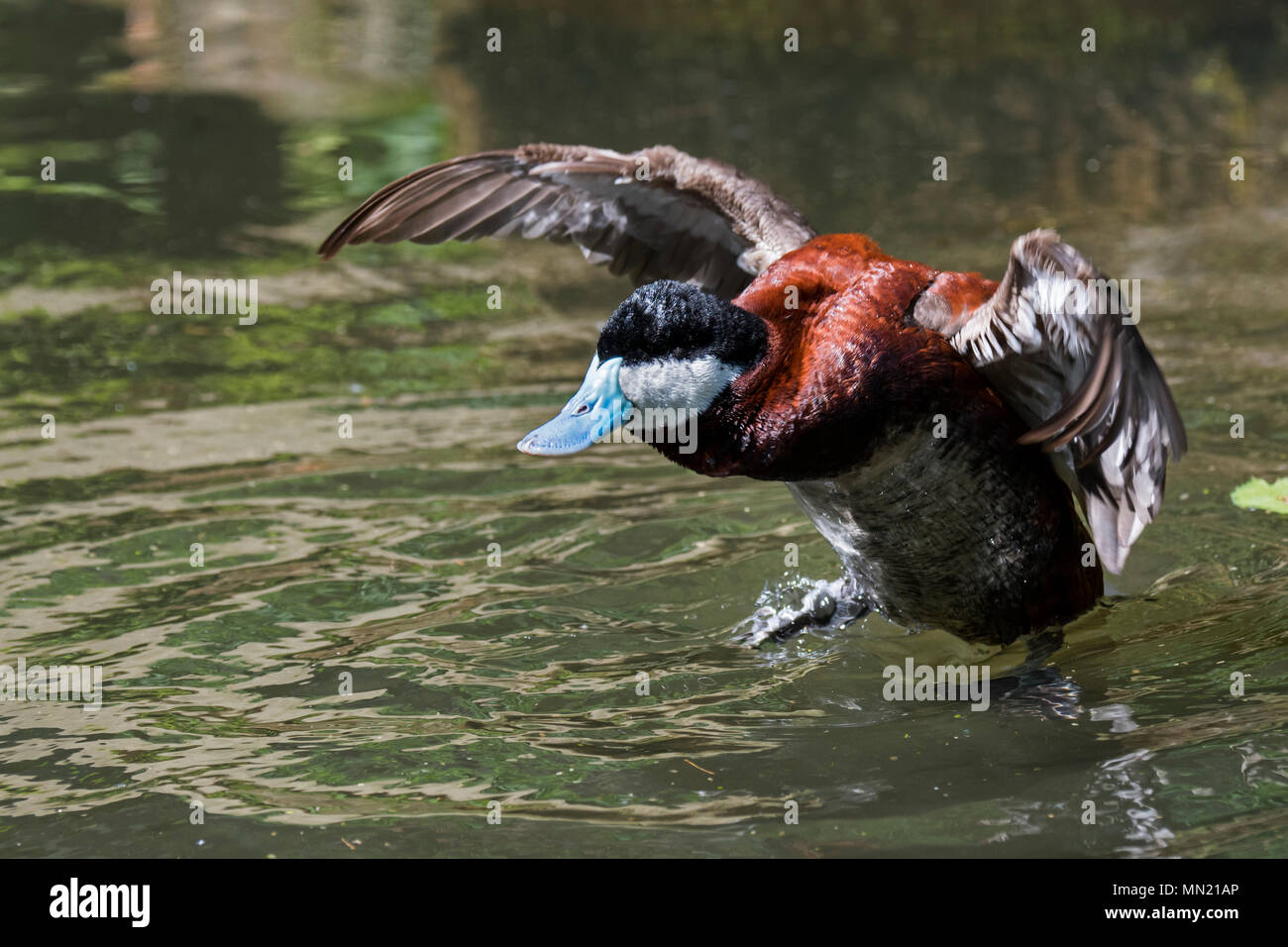Ruddy duck (Oxyura jamaicensis) male flapping wings in pond, stiff-tailed duck native to North America - Stock Image