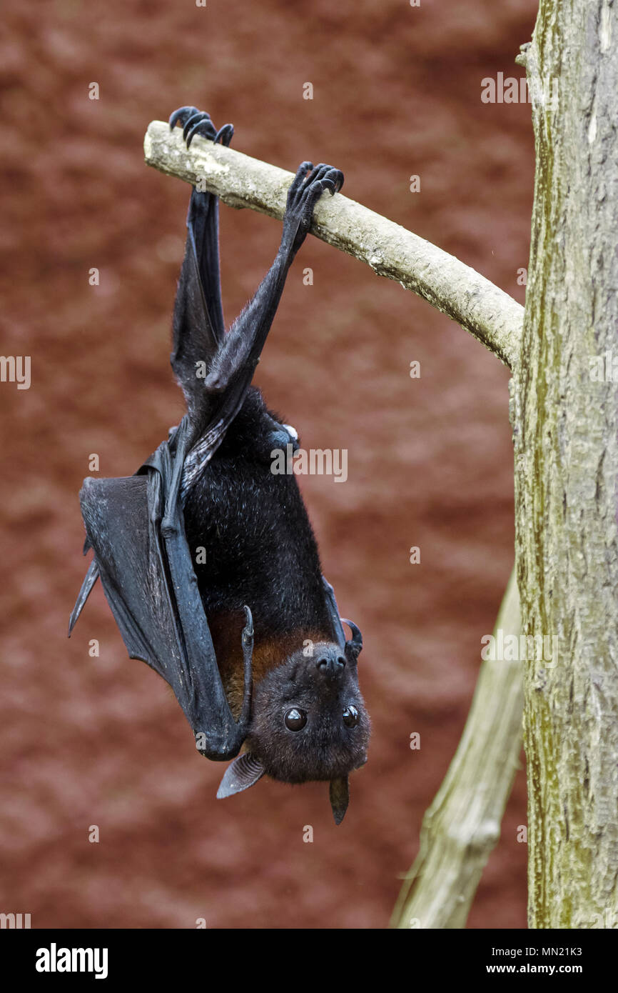Lyle's flying fox (Pteropus lylei) native to Cambodia, Thailand and Vietnam, male hanging upside down from branch with hind feet Stock Photo