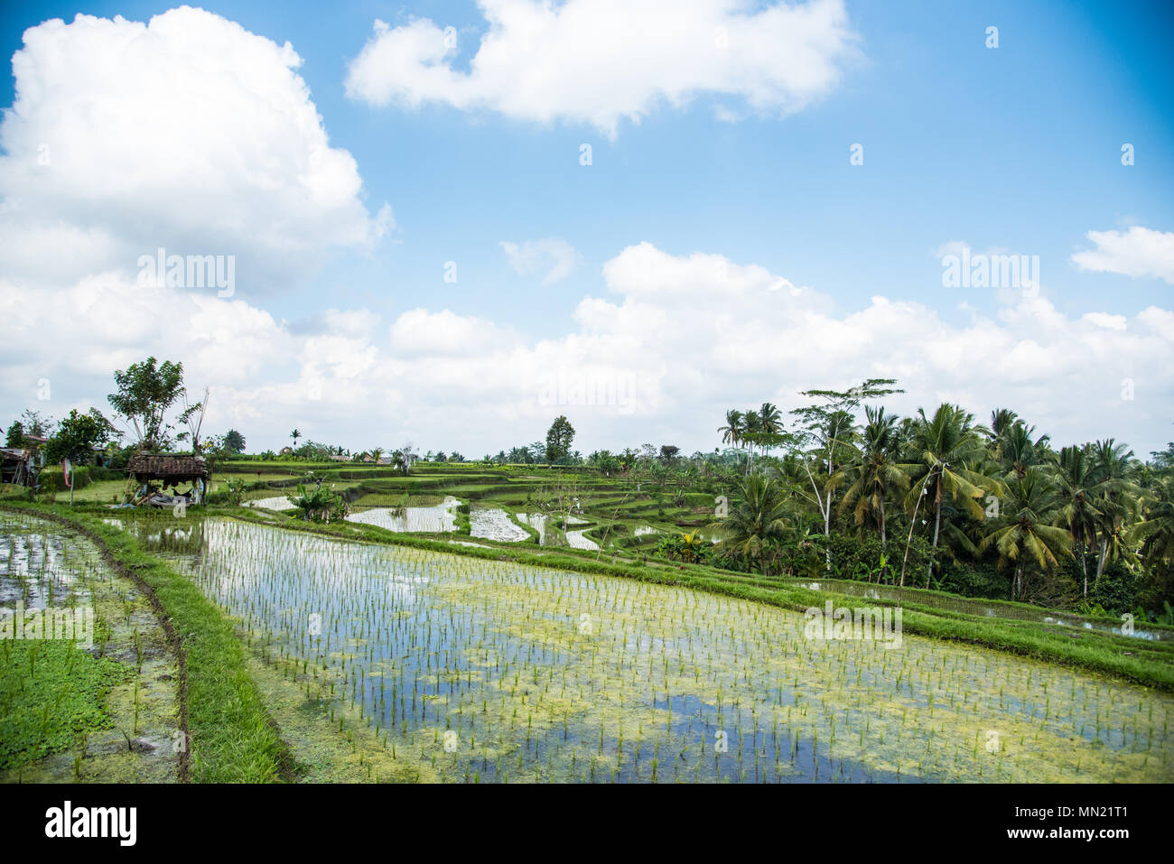 The Tegallalang Rice Fields - Bali - Stock Image
