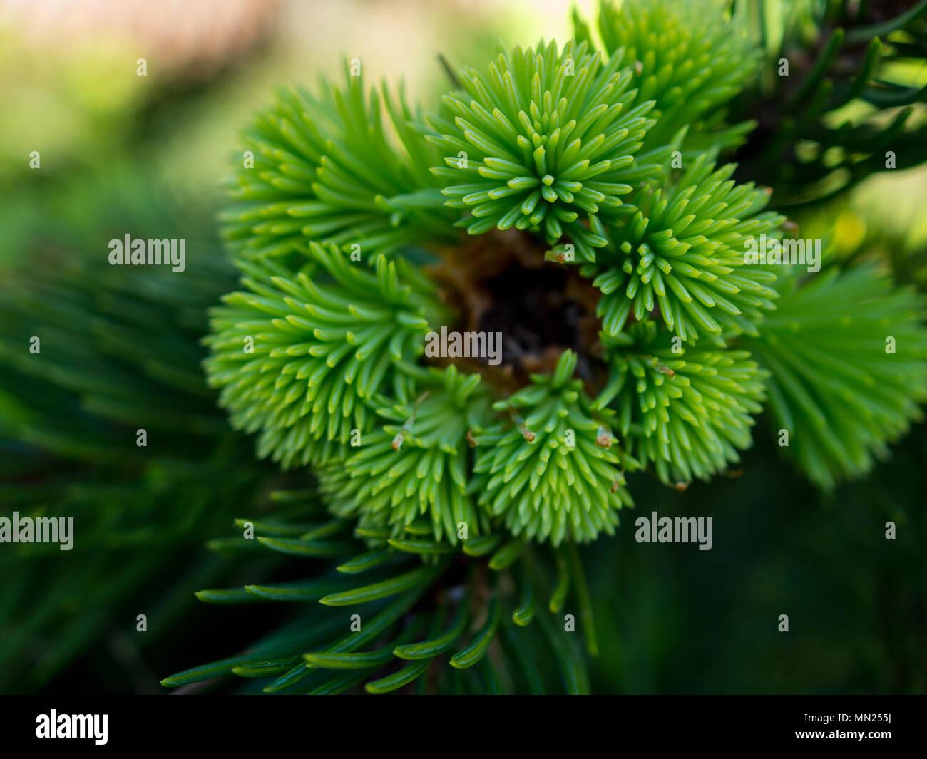 Close-up: new light green soft needles of spruce Acrocona, rare species of coniferous trees, macro. - Stock Image
