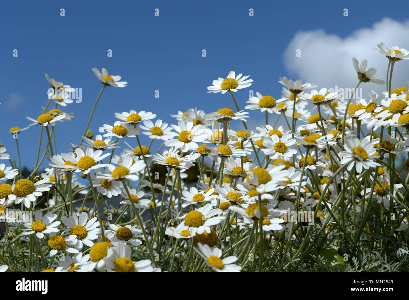 Chamomile flowers against a blue sky with puffy white clouds Stock Photo