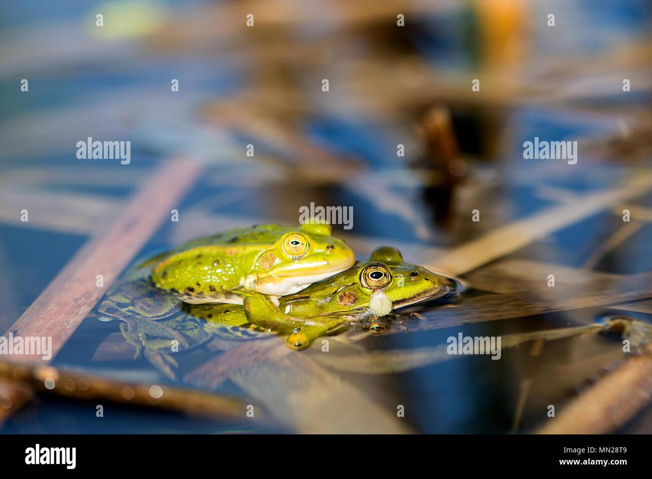 Green frogs  (Pelophylax kl.Esculentus) in springtime - Stock Image