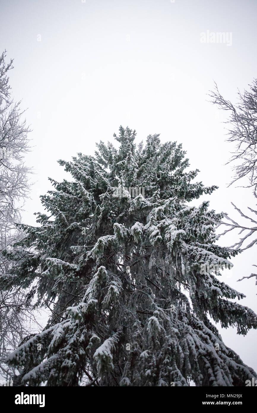 Snow Tree Germany - Stock Image