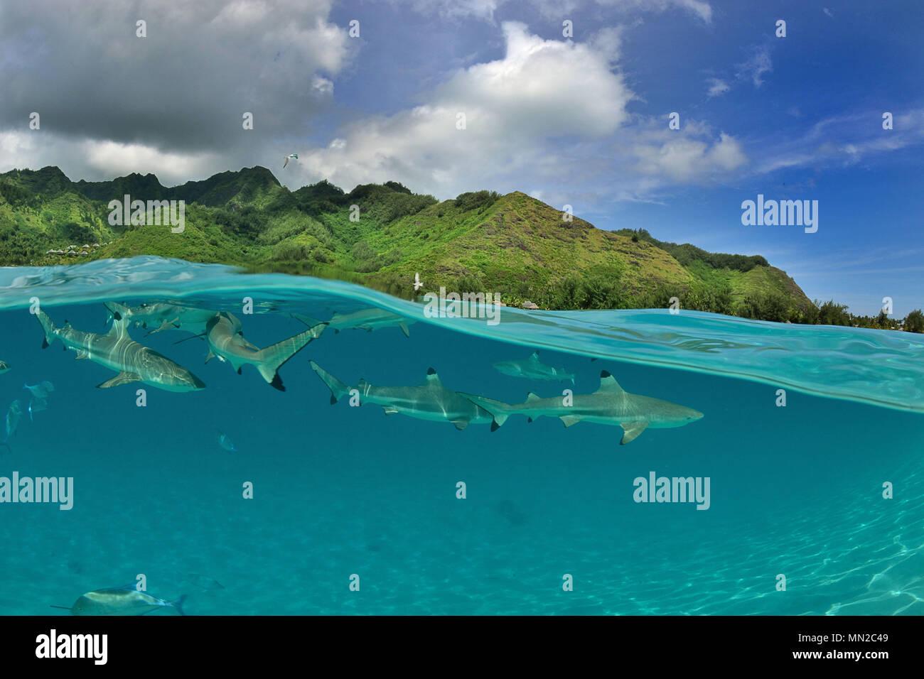 French Polynesia, Moorea: blacktip reef shark in the lagoon near the coast - Stock Image
