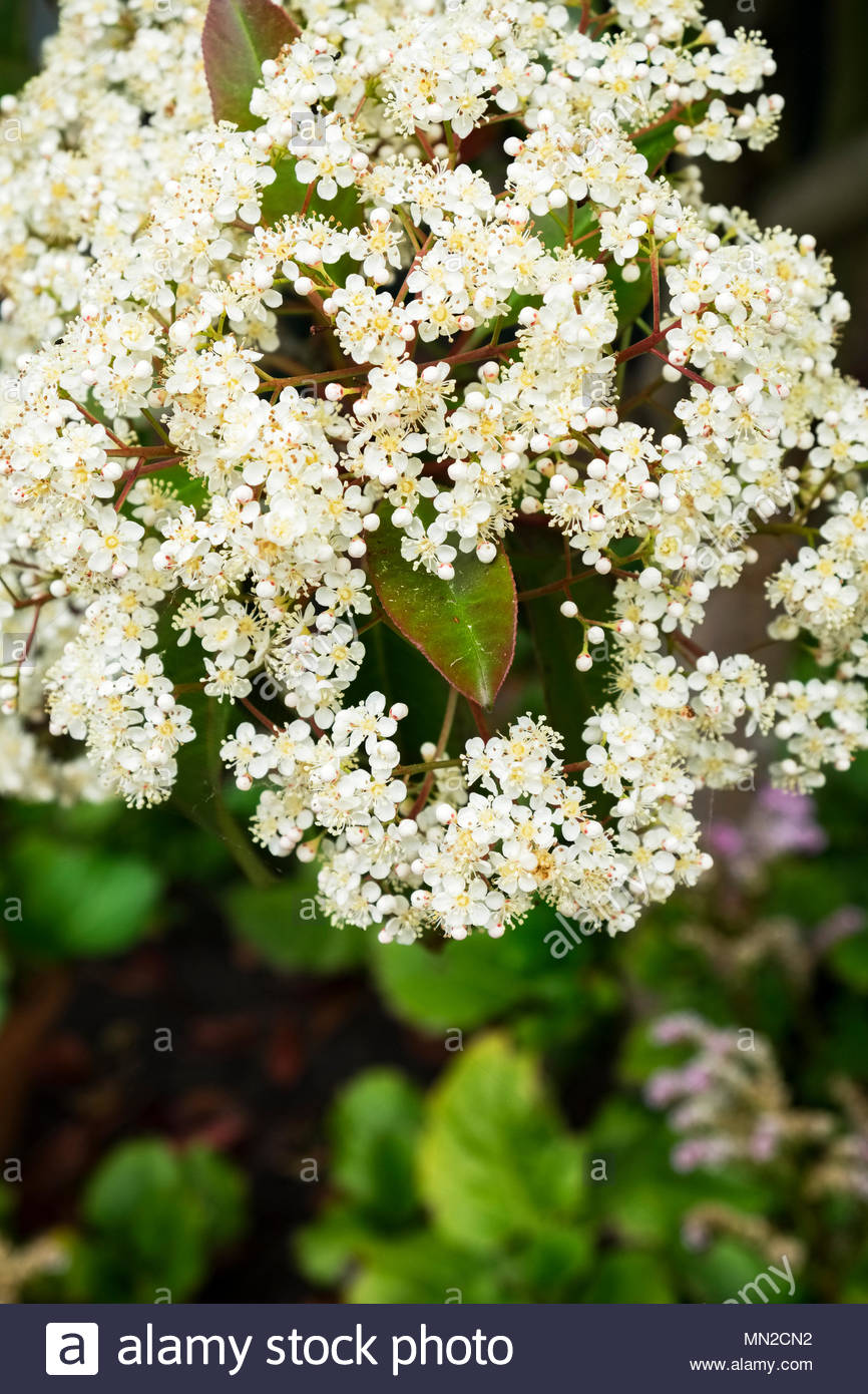Photinia fraseri, Red Robin, ornamental, tree, shrub, showing red-tipped leaves in mid-May, Germany. Stock Photo