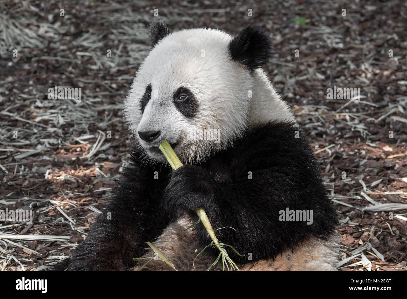 Young two year old giant panda (Ailuropoda melanoleuca) cub eating bamboo Stock Photo