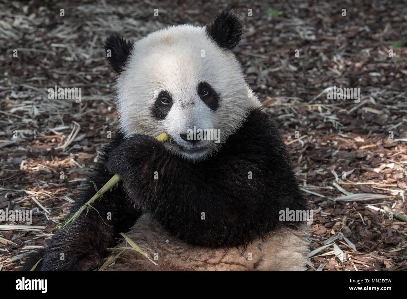 Young two year old giant panda (Ailuropoda melanoleuca) cub eating bamboo - Stock Image