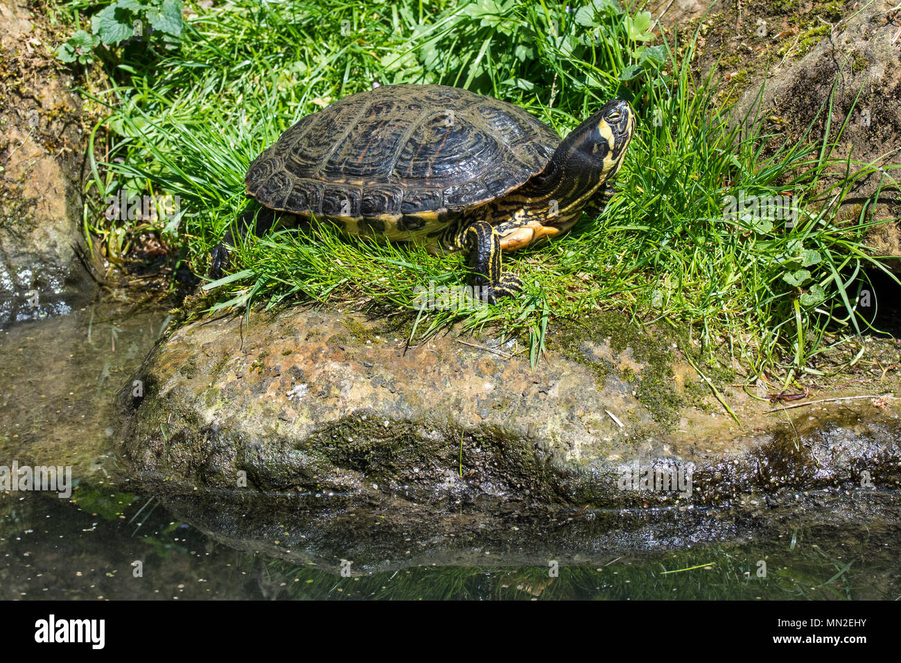 Yellow-bellied slider (Trachemys scripta scripta), land and water turtle native to the southeastern United States - Stock Image