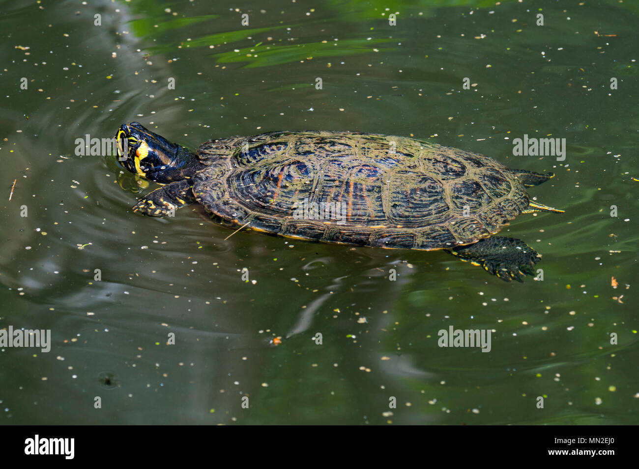 Yellow-bellied slider (Trachemys scripta scripta), land and water turtle native to the southeastern United States swimming in pond - Stock Image