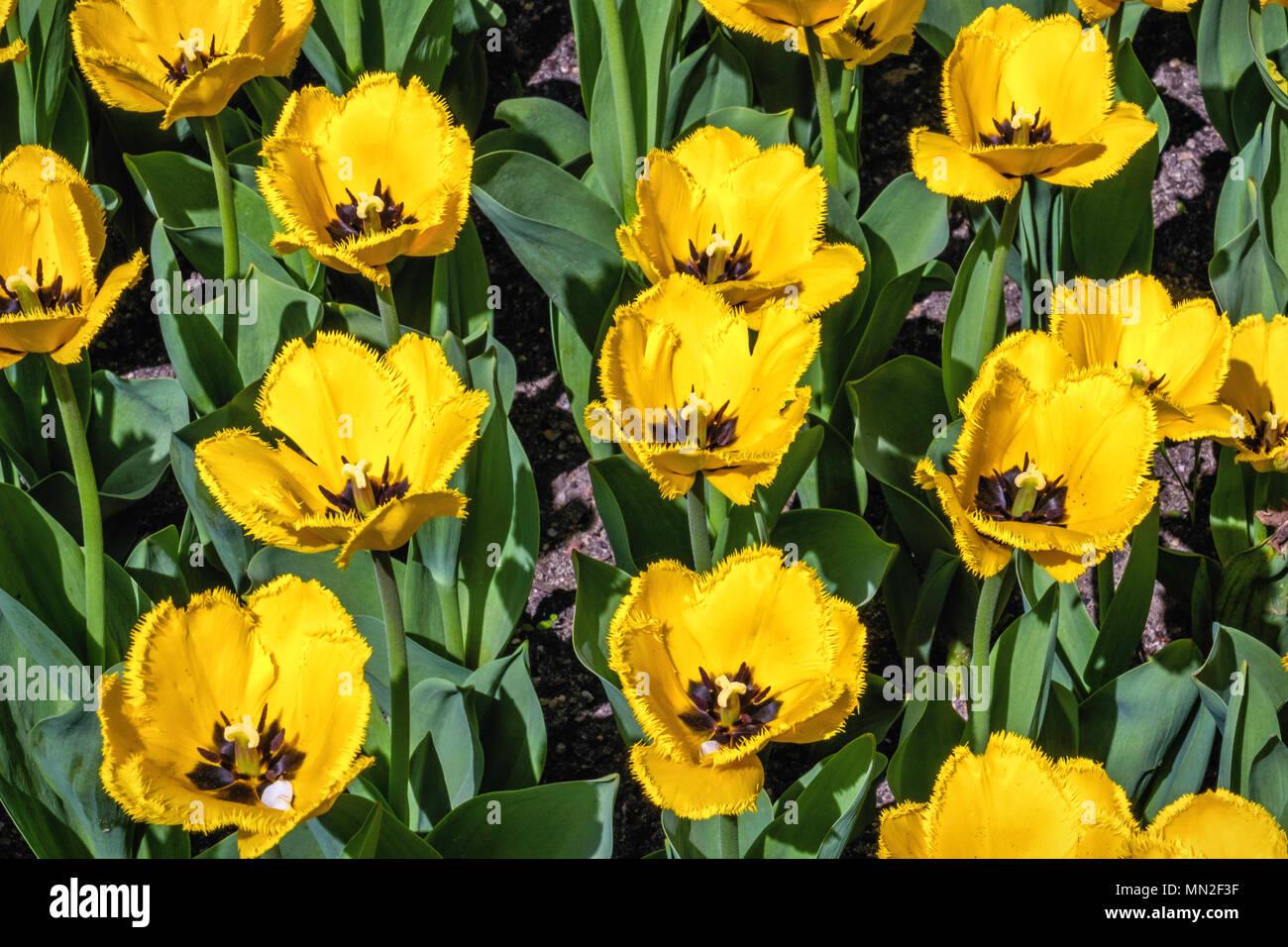 Britzer garten neuklln berlin germany 2018 garden with spring britzer garten neuklln berlin germany 2018 garden with spring flowering bulbs yellow tulips with frilly petals black centre mightylinksfo