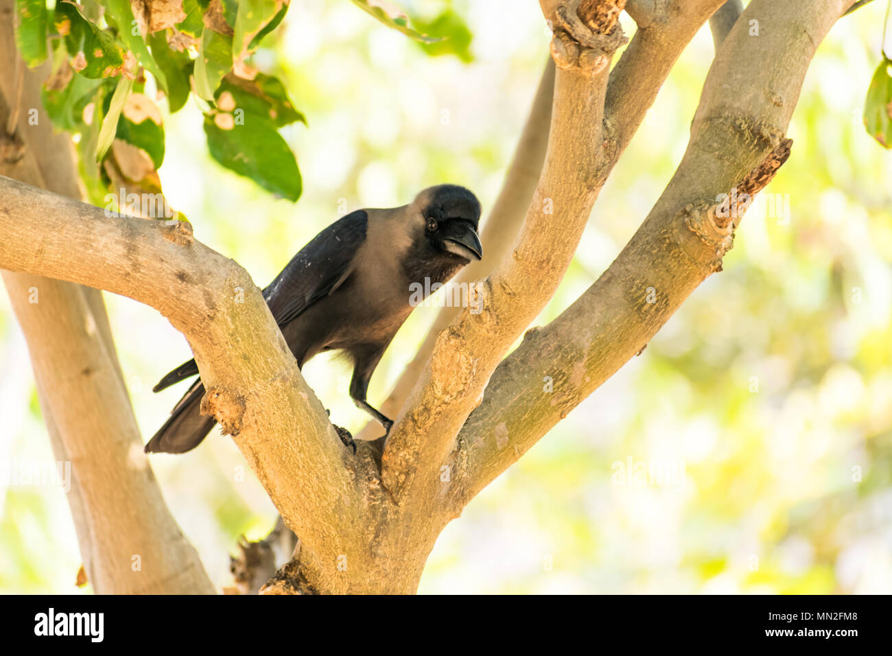 A crow seating on tree branch  in public park looking awesome at sunny day. Stock Photo