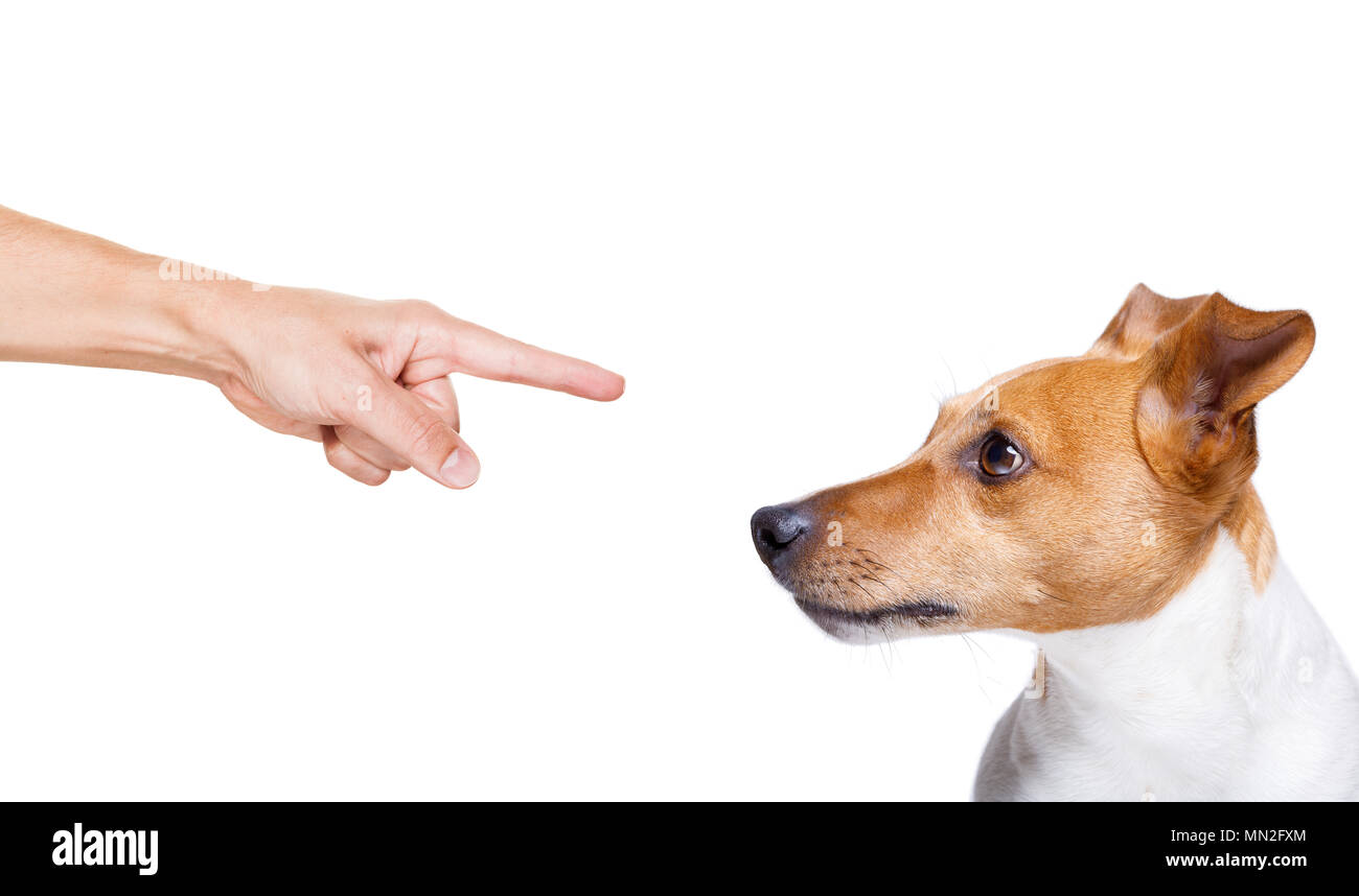 jack russell, terreir dog  being punished by owner for very bad behavior , with finger pointing at dog - Stock Image