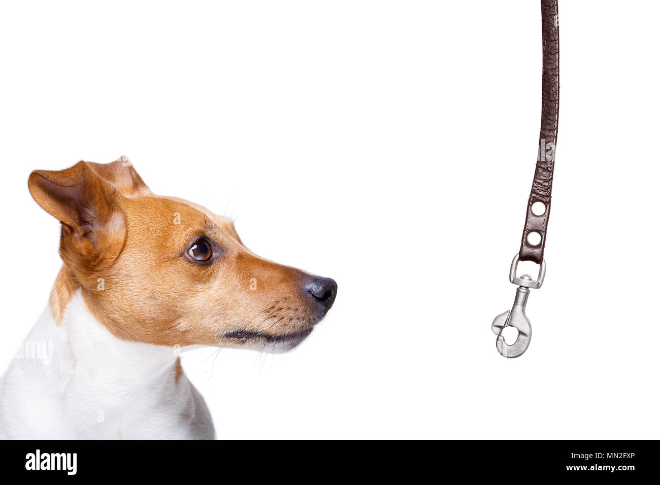 dog waiting for owner to play  and go for a walk with leash, isolated on white background - Stock Image