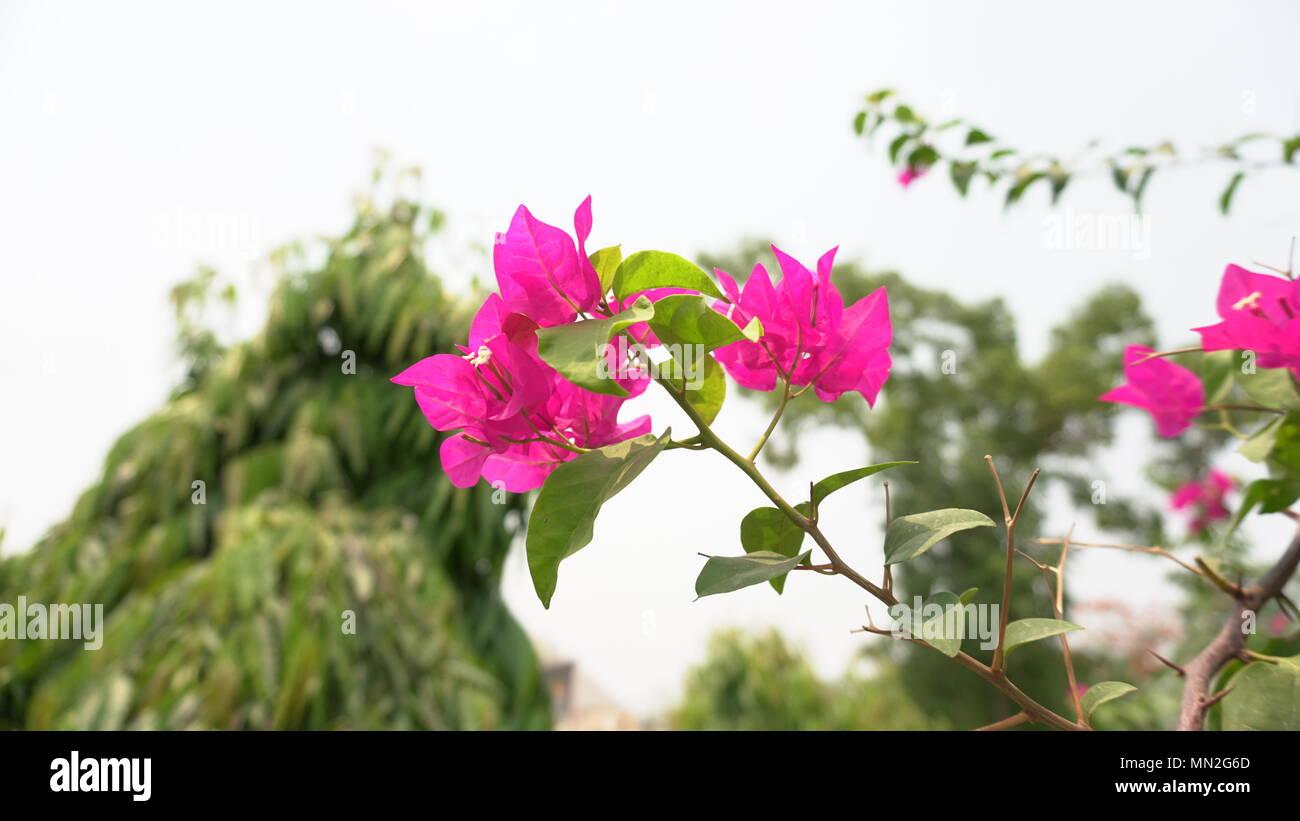 Beautiful Bougainvillea flowers on Focus - Stock Image