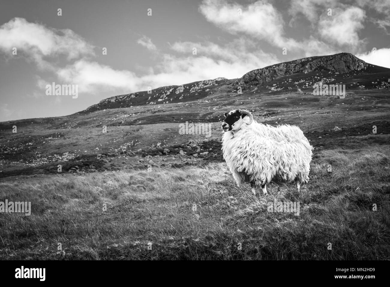 Picture of a sheep on a mountain in Donegal Ireland - Stock Image