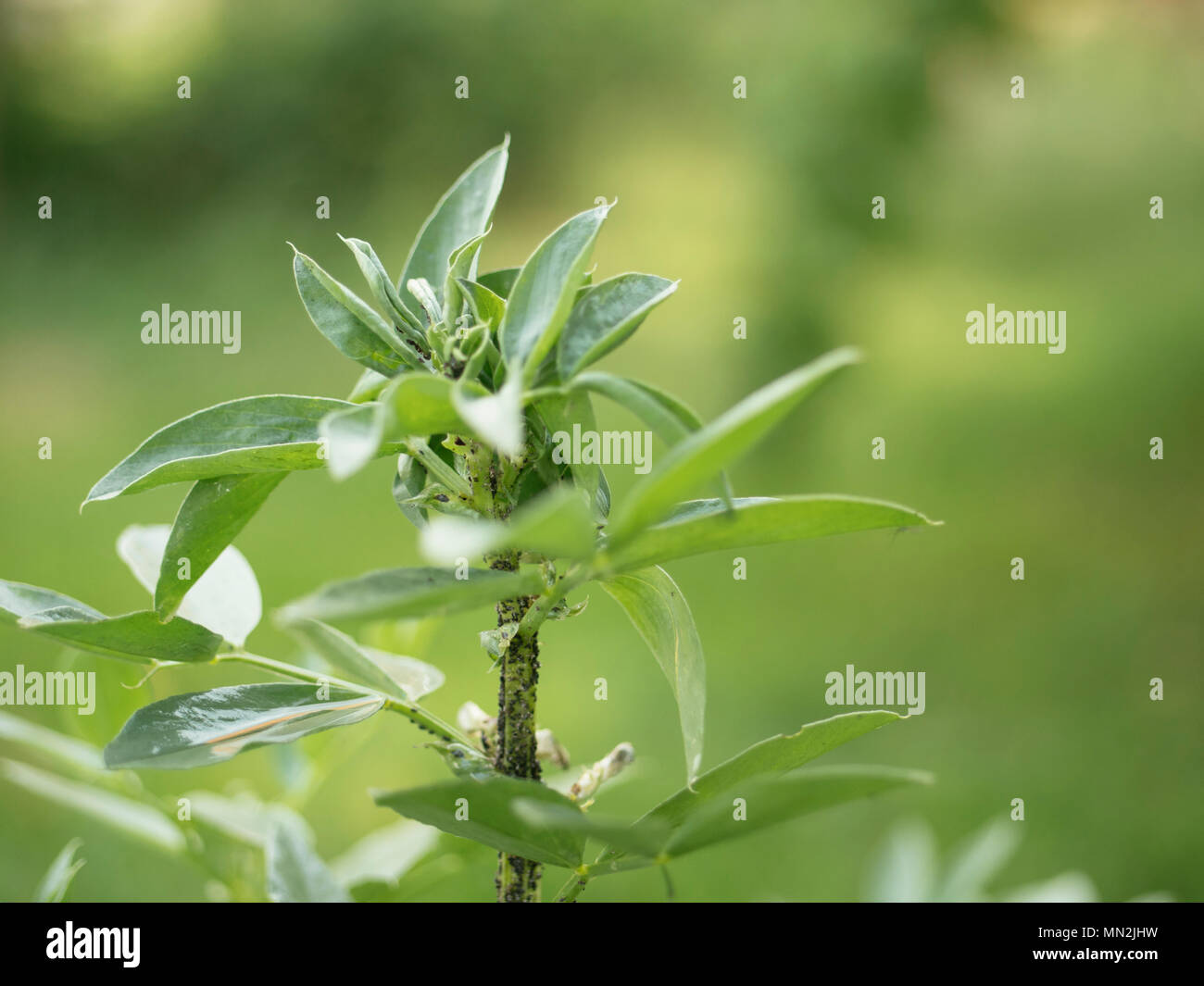 Fava bean plants invested with aphids - Stock Image