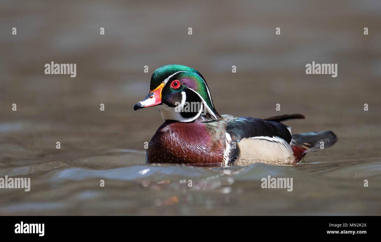 Wood Duck - Stock Image