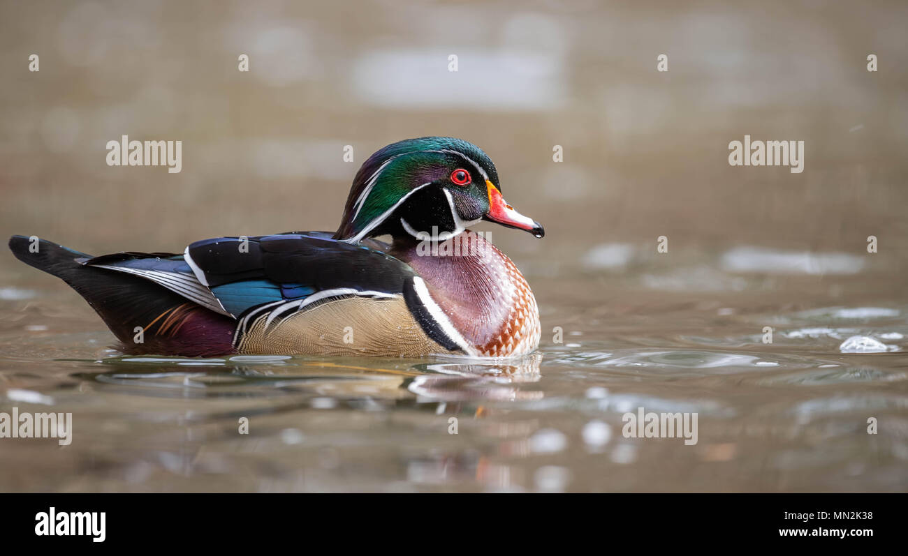 Wood Duck Stock Photo