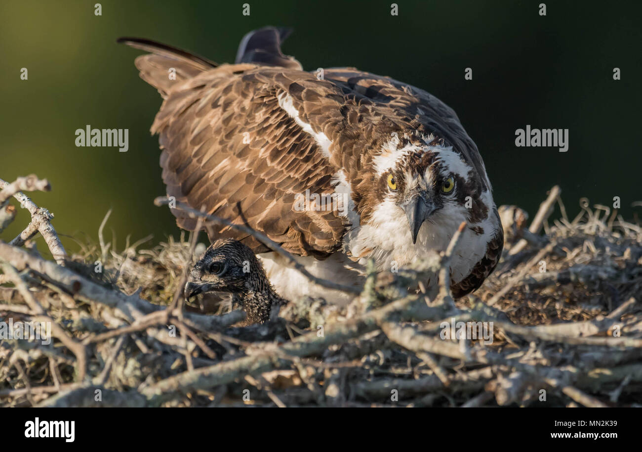Osprey in Florida 6+8+ - Stock Image