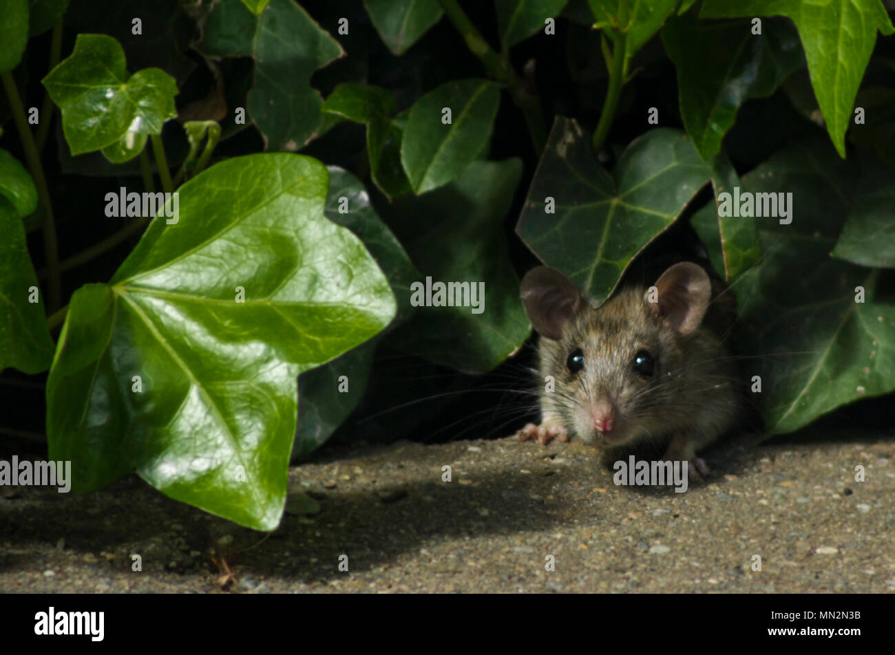 Cautious Adult Rat Peeping Out Of Hedge - Stock Image