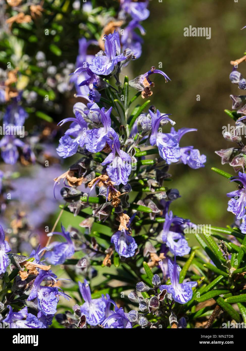 Dark blue flowers of the culinery herb rosemary variety, Rosmarinus officinalis 'Severn Sea' - Stock Image
