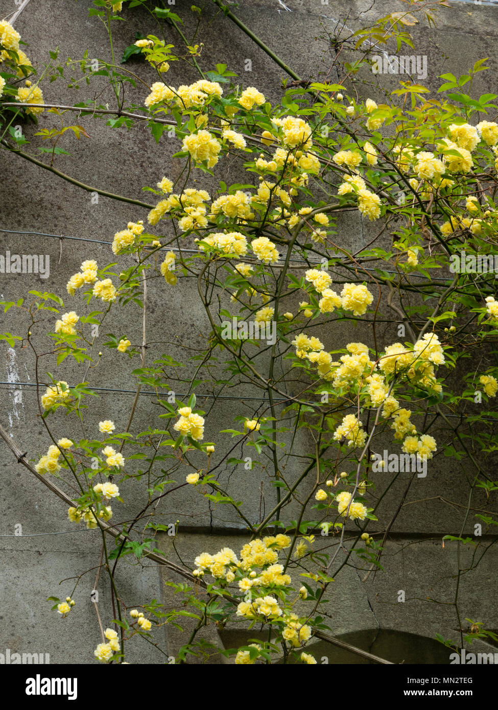 Small, double, yellow flowers of the rambling Banksian rose, Rosa banksiae 'Lutea',trained on a wall - Stock Image