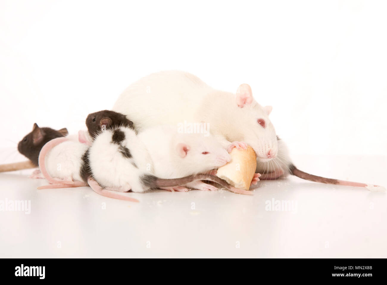 A family of rats eating bread. - Stock Image
