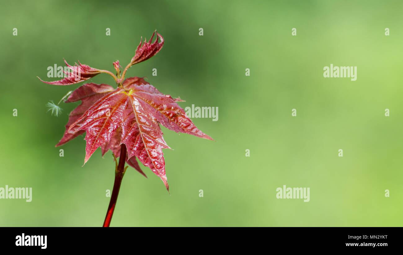 Young Leaves Of Japanese Maple Acer Palmatum Red Leafed Cultivar
