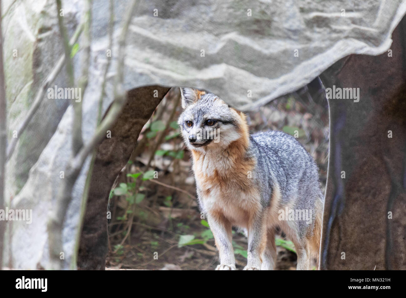 A grey fox gazes in dismay, framed through a rock opening, at the WNC Nature Center in Asheville, NC, USA - Stock Image