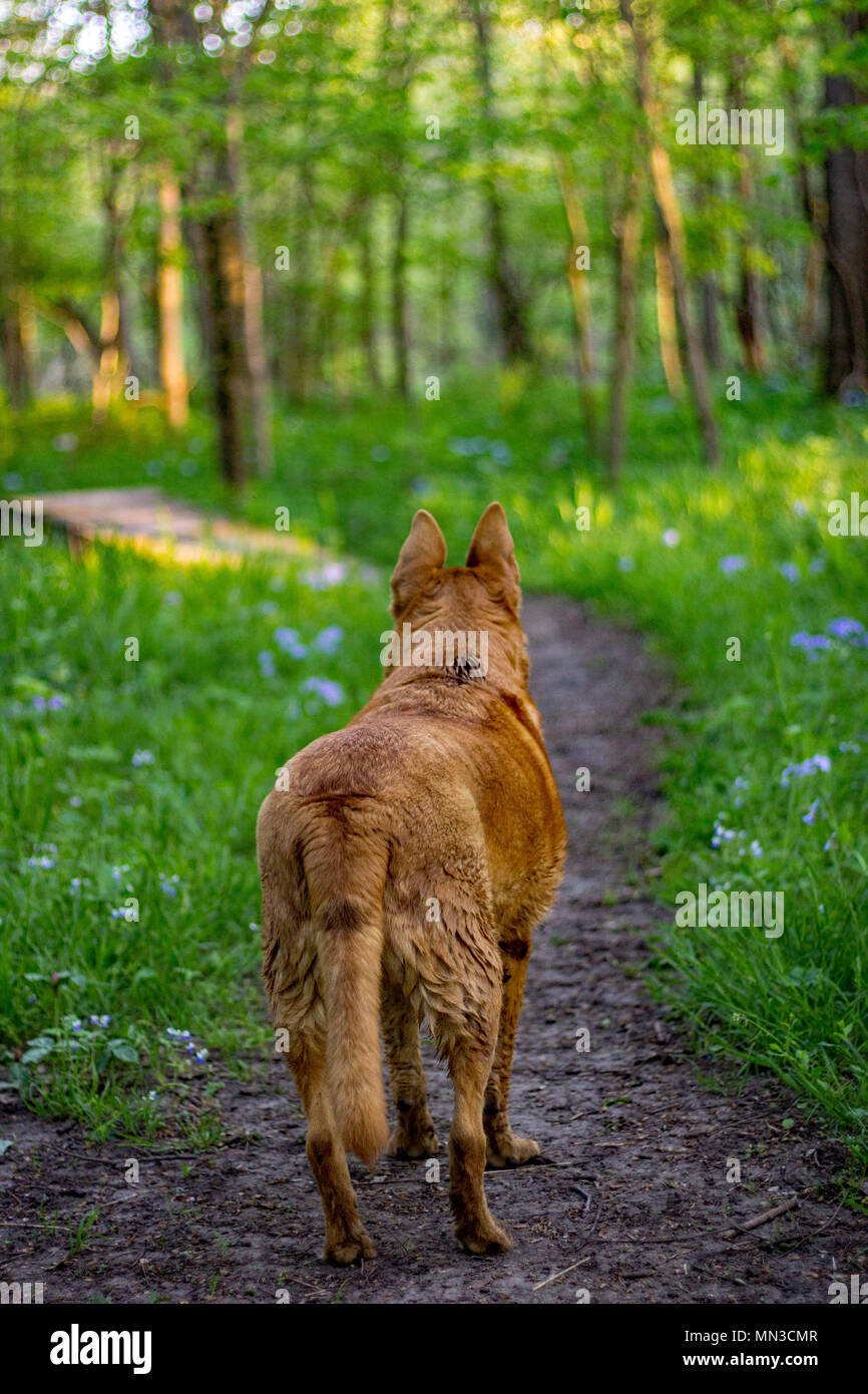 Dog wandering towards bridge at dusk in rural Midwest. - Stock Image
