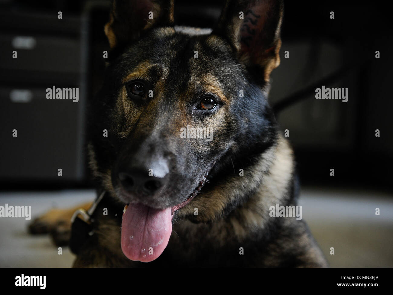 After biting down onto a steel pipe during training, Kobo, 86th Security Forces Squadron military working dog, prepares to undergo two non-surgical procedures for the extraction of his upper incisors and a surgical extraction of his upper fourth premolar at Veterinary Medical Center Europe, Pulaski Barracks, Germany, Aug. 25, 2017. Due to the nature of their work, these K-9s are prone to dental injuries and depend on local dental clinics to help keep them in good working condition. (U.S. Air Force Airman 1st Class Savannah L. Waters) - Stock Image