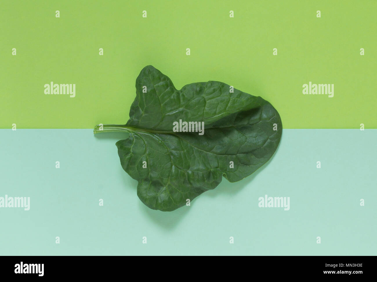 Fresh green leaf of spinach on a background of similar (analogous colors) shades of green. Two tone color paper. Abstract photo. Template.Top view. - Stock Image