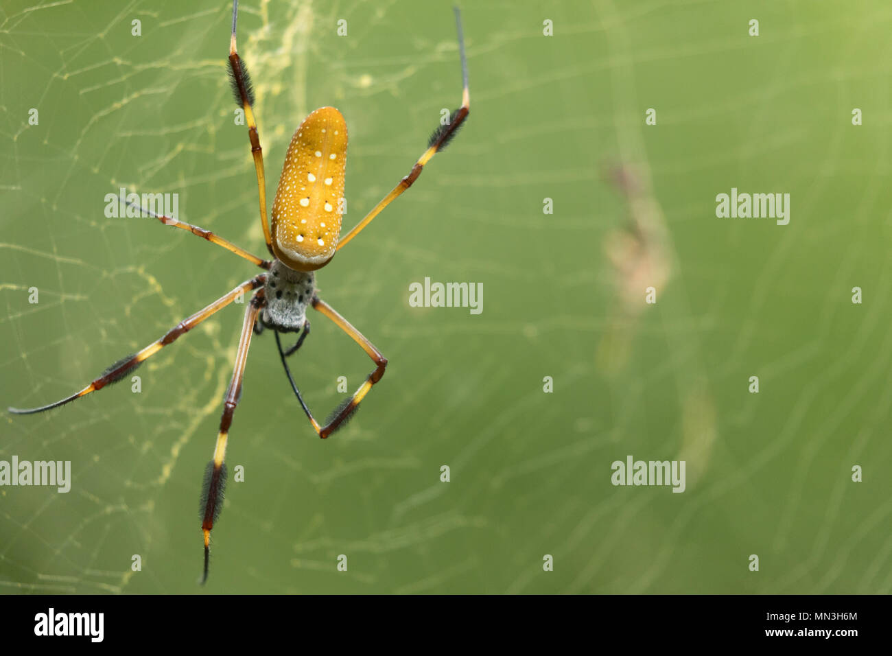 A spider in the jungle, Quebrada Valencia, Magdalena, Colombia, South America - Stock Image